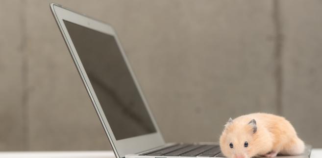chomik-internet -komputer