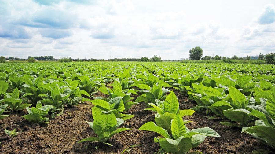 rolnik, rolnictwo, tytoń