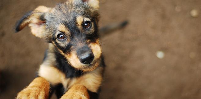Maksymalna opłata jaką może pobrać gmina od właściciela psów to 121,24 zł rocznie za jednego psa