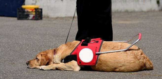 niewidomy, pies przewodnik