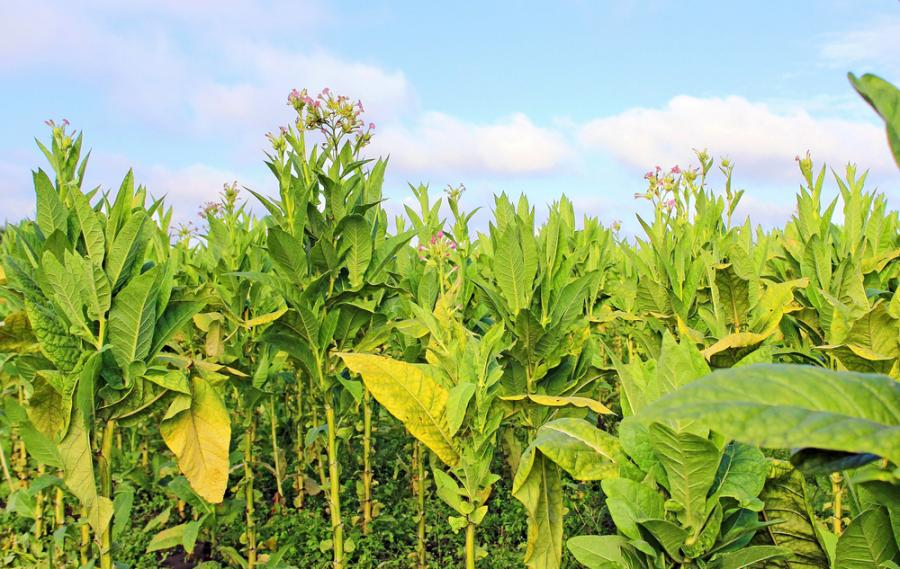 tytoń, rolnictwo