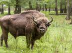 Szef Lasów Państwowych: Nie będzie komercyjnych odstrzałów na żubry